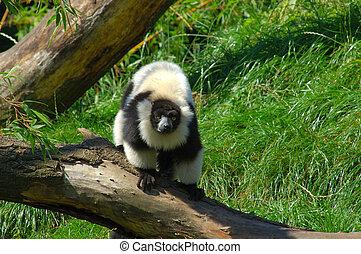 Lemur catta. - A lemur catta, maki  in a belgium zoo.