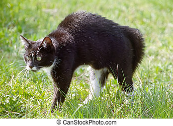 Cat arching ist back - A stressed cat arching its back.
