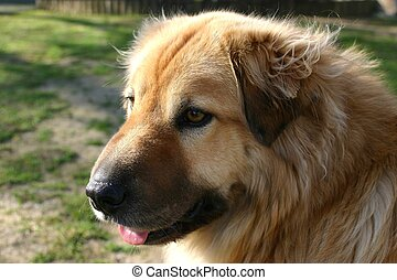 Gentle Dog - Portrait profile shot of long haired retriever...