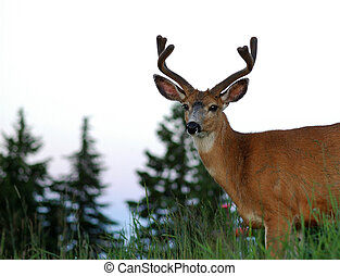 Young Buck - young buck on hill. Neck and head with antlers