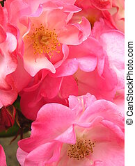 wild roses - vibrant photograph of a display of wild roses