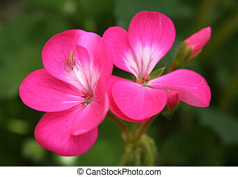 Geranium with insect