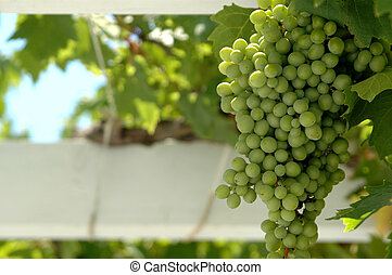 grapes in focus on vine - green grapes in focus on the vine