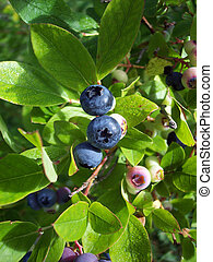 Blueberries 1 - Blueberries on bush, in morning with dew on...
