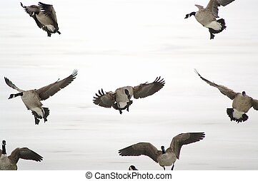 Landing geese - geese in flight
