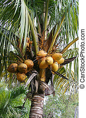 Coconuts Growing - a closeup of coconuts growing in a...