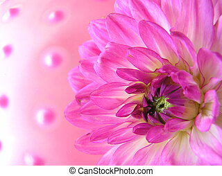 kinky pinky - photograph of a pink dahlia flower against a...