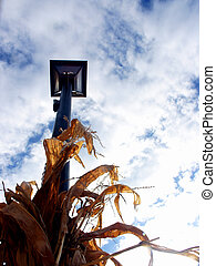 Midwest Lamppost - Lamppost amid corn stalks in Midwestern...