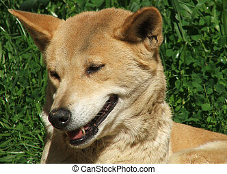 Animal - dingo - Australian dingo