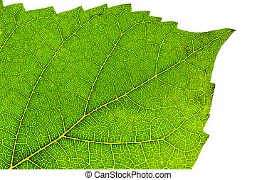 Leaf Detail - Photo of a Leaf