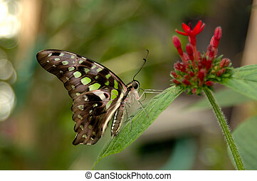 Malachite Butterfly - Malachite butterfly (Siproeta...