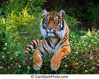 Bengal Tiger - Bengal tiger sits alert in a patch of grass...