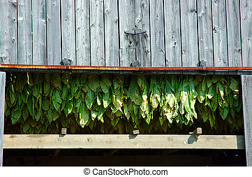 Tobacco Plant Leaves - Tobacco leaves hang in the barn to...