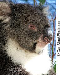 Animals - Koala - Victorian Koala Bear