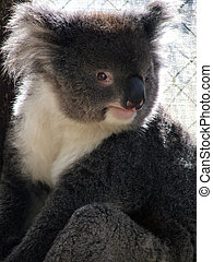 Animals - Koala - Victorian Koala Bear