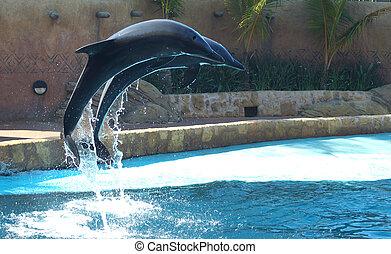 dolphin flight - atlantic bottle nose dolphins at ushaka in...