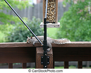 Lazy Squirrel - a lazy squirrel resting on a railing beneath...