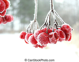 The red rimed berry - Red berry during the winter cold foggy...