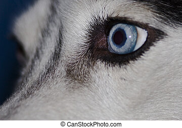 Husky Eye - Husky face with blue eye