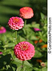 Zinnia - zinnia, bright,flora, floral, flower, green, petal,...