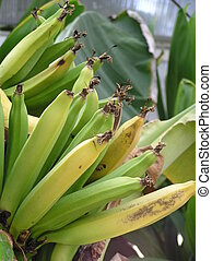 Banana Tree - A Banana Tree bearing bananas.