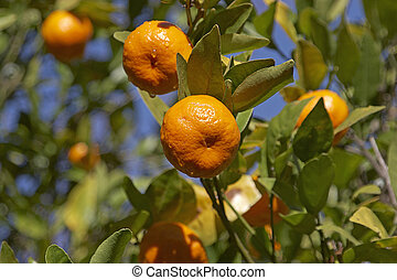 Mandarins on a tree