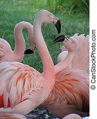 Flamingo Fight 2 - Two flamingos play fighting.