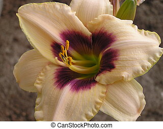 Blueberry Candy - Daylily hybrid: Blueberry Candy...
