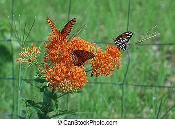 Butterfly Weed - Butterflies alight on a roadside weed.