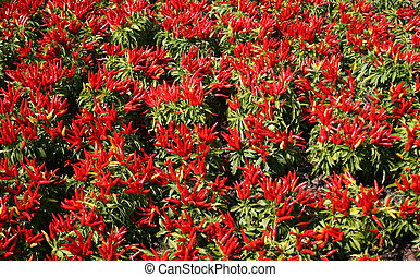 Chilly Pepper Patch - Ornamental Pepper - Capsicum Annuum