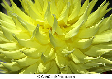Dahlia Series 2 - Up close and personal with a Yellow Dahlia...