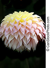 Dahlia Series 3 - Yellow, Pink Purple Dahlia - Traces of...