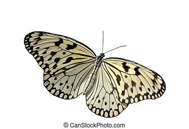 RicePaper Butterfly - Rice Paper Butterfly ( Idea leuconoe)....