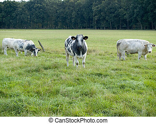 Cows grazing. - Rural scene in belgium, cows grazing on a...