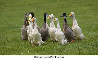 grupo, patos