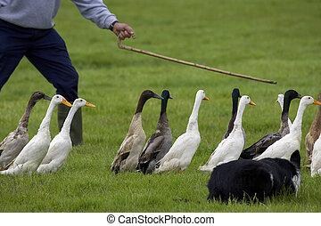 ducks being herded