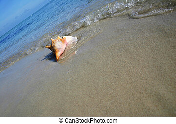 Conch on the Beach - Angled shot of conch on tropical beach