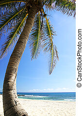 Coconut Tree and Beach - Coconut tree on Mexican coast