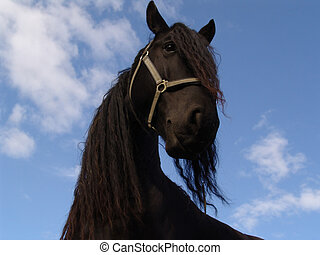 rasta horse - portrait of a black curly horse