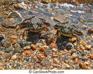 Twin Frogs - Pair of frogs pose for camera