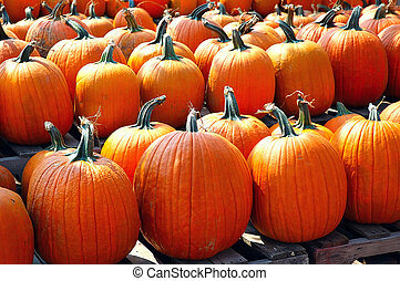 Rows of Pumpkins - Rows and rows of pumpkins at the farmers...