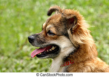 Brown & white dog - Cute & frisky brown & white dog looking...