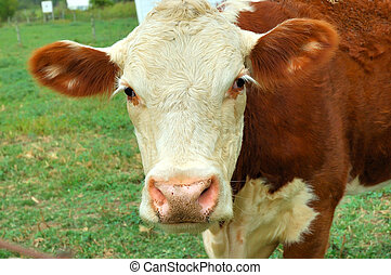 Cow - A friendly cow with big ears.