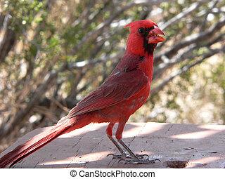 Desert Cardinal - Northern Cardinal Cardinalis cardinalis on...
