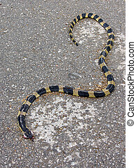 Roadkilled snake - Dead banded krait snake on a Thai road