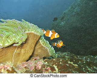 Clownfish - Two cute nemos and anemone coral
