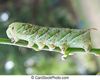 Tomato Horn Worm - This is a shot of the tomato horn worm...