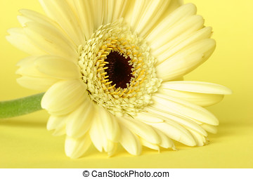 Yellow Gerbera on yellow background