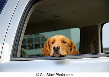 Bored Dog - A bored, sad faced dog waits in the car in a...
