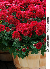 Fall Mums in Baskets - Fall chrysanthemums in baskets at the...